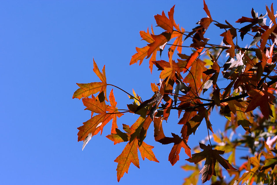 Close-up of autumn leaves on a tree : Free Stock Photo