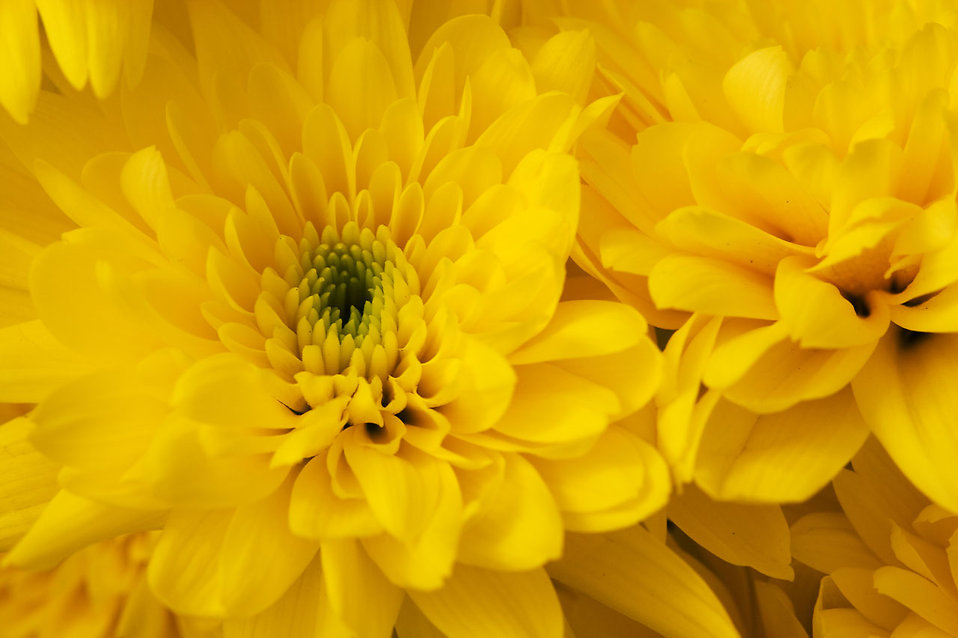 Close-up of yellow chrysanthemum flowers : Free Stock Photo
