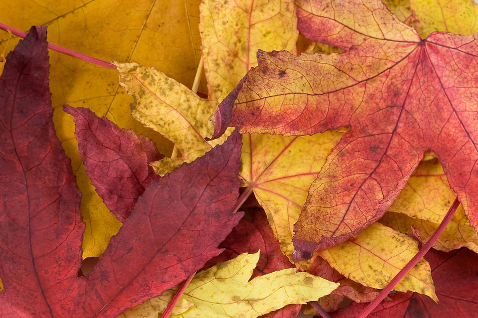 Red and yellow autumn leaves : Free Stock Photo