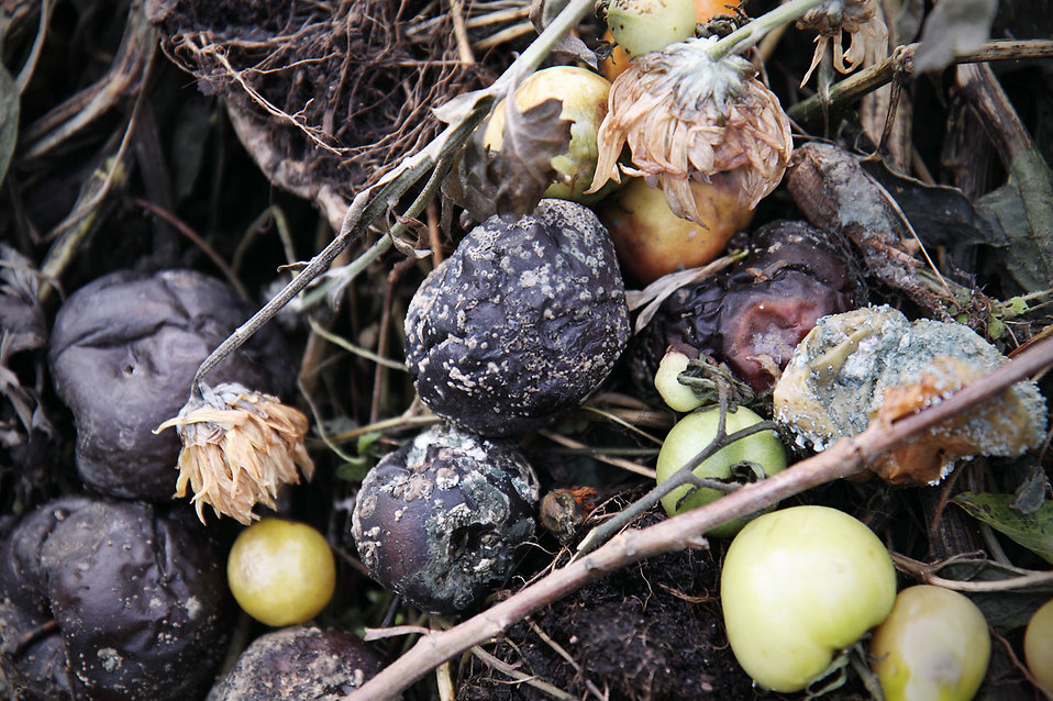 Rotten fruit on compost : Free Stock Photo