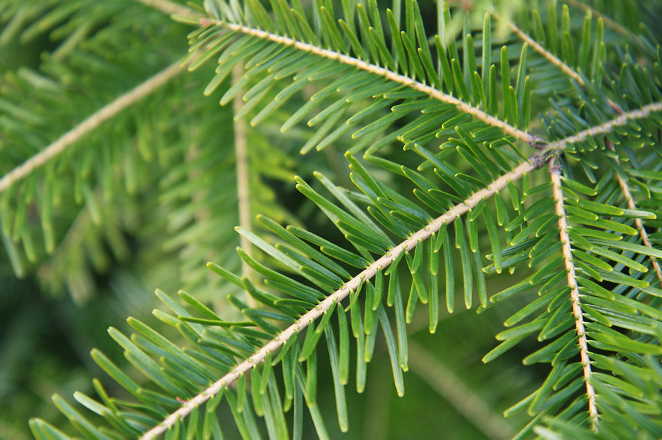 Green spruce tree branch with needles : Free Stock Photo