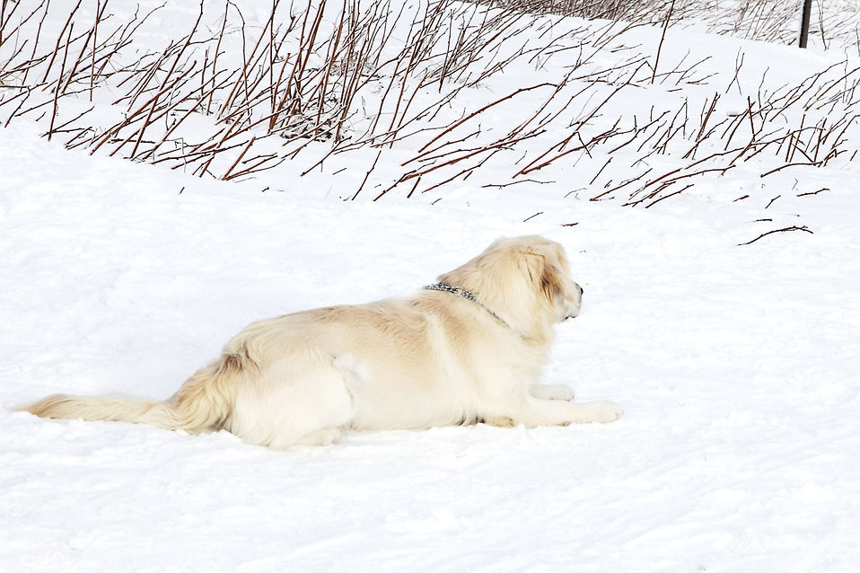 A labrador laying on the snow : Free Stock Photo