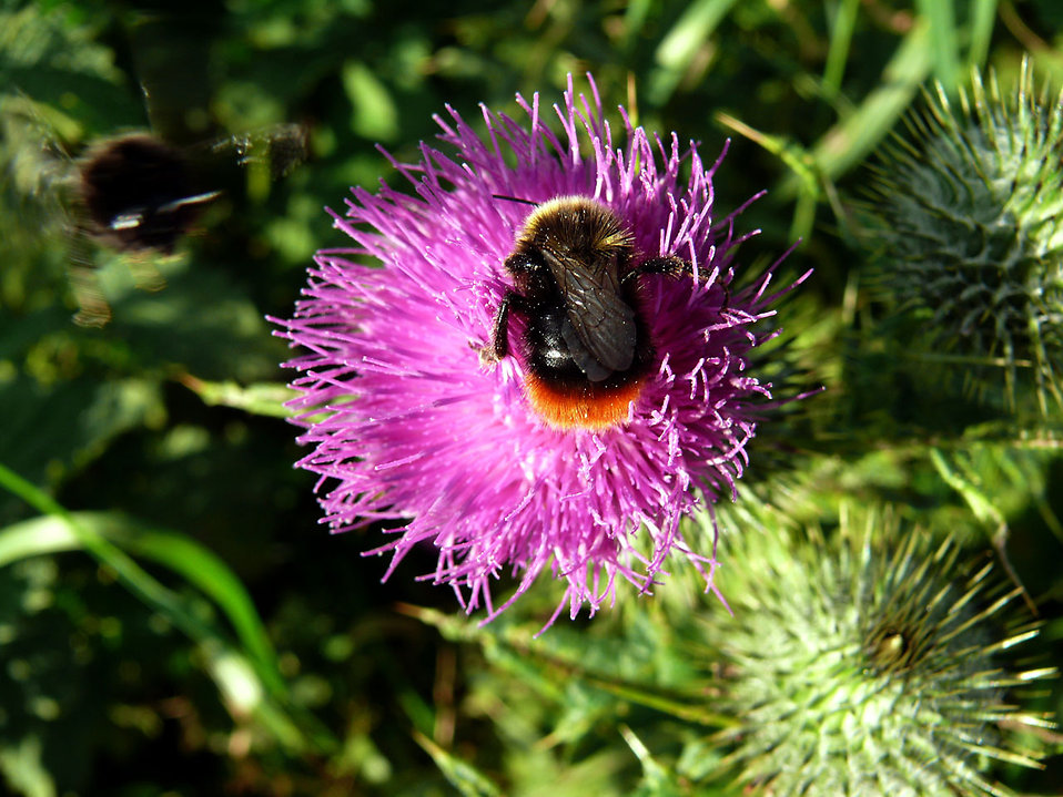 A bumblebee on a purple flower : Free Stock Photo