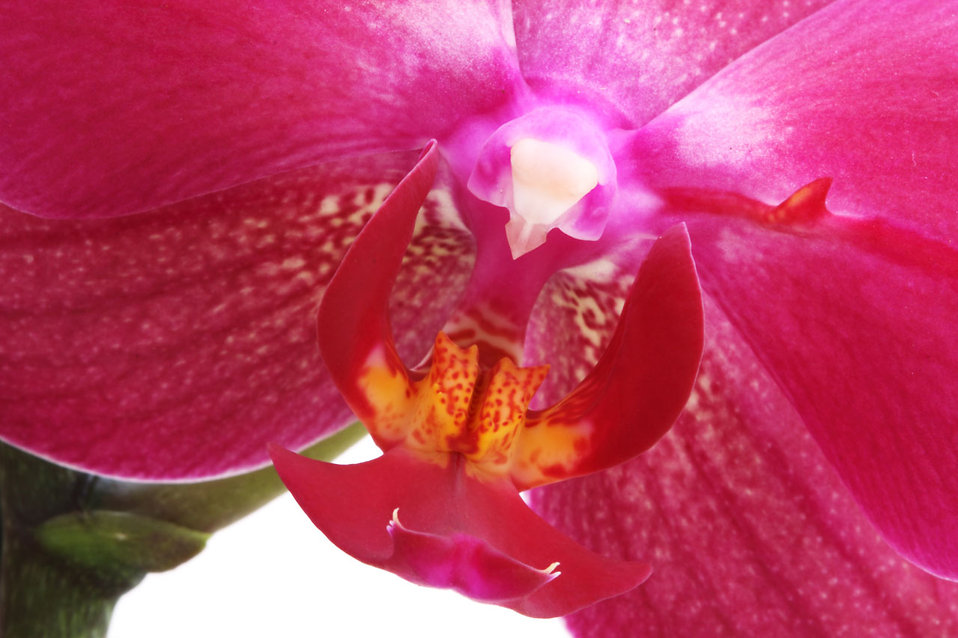 Close-up of a pink orchid flower : Free Stock Photo