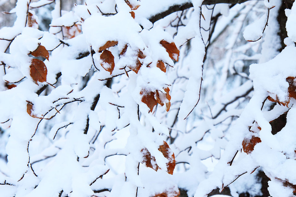 Snow covered leaves : Free Stock Photo