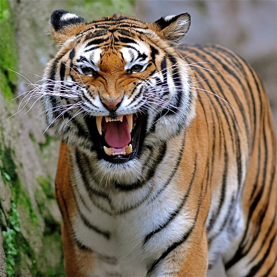 Close-up of a tiger growling : Free Stock Photo