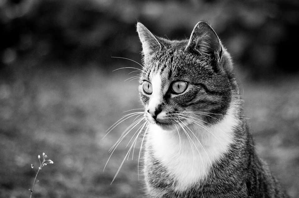Close-up of a cat outdoors in black and white : Free Stock Photo