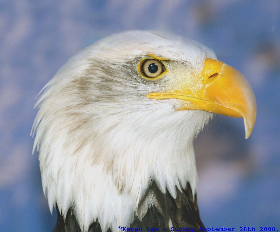 Close-up of an American bald eagle : Free Stock Photo