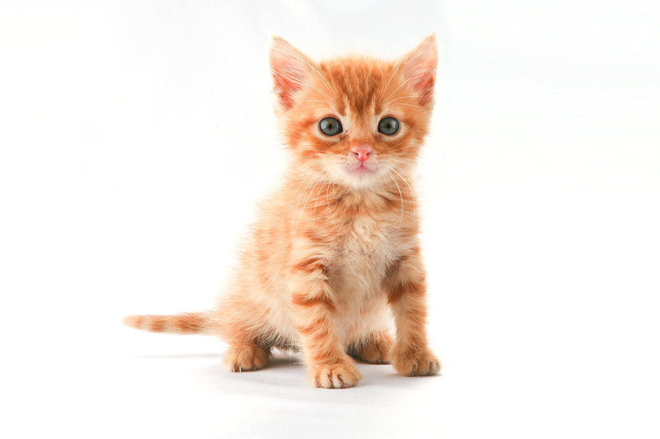A cute orange kitten isolated on a white background.