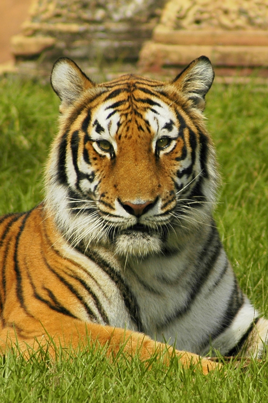 Close-up of a Bengal tiger : Free Stock Photo