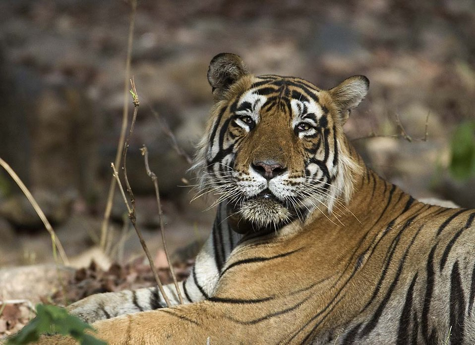 Close-up of a tiger : Free Stock Photo