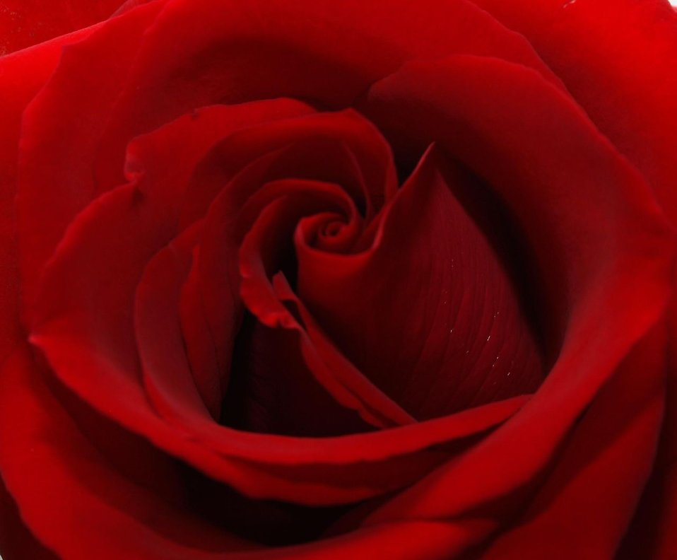 Close-up of a red rose : Free Stock Photo
