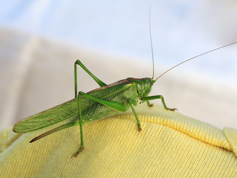 Close-up of a green grasshopper : Free Stock Photo