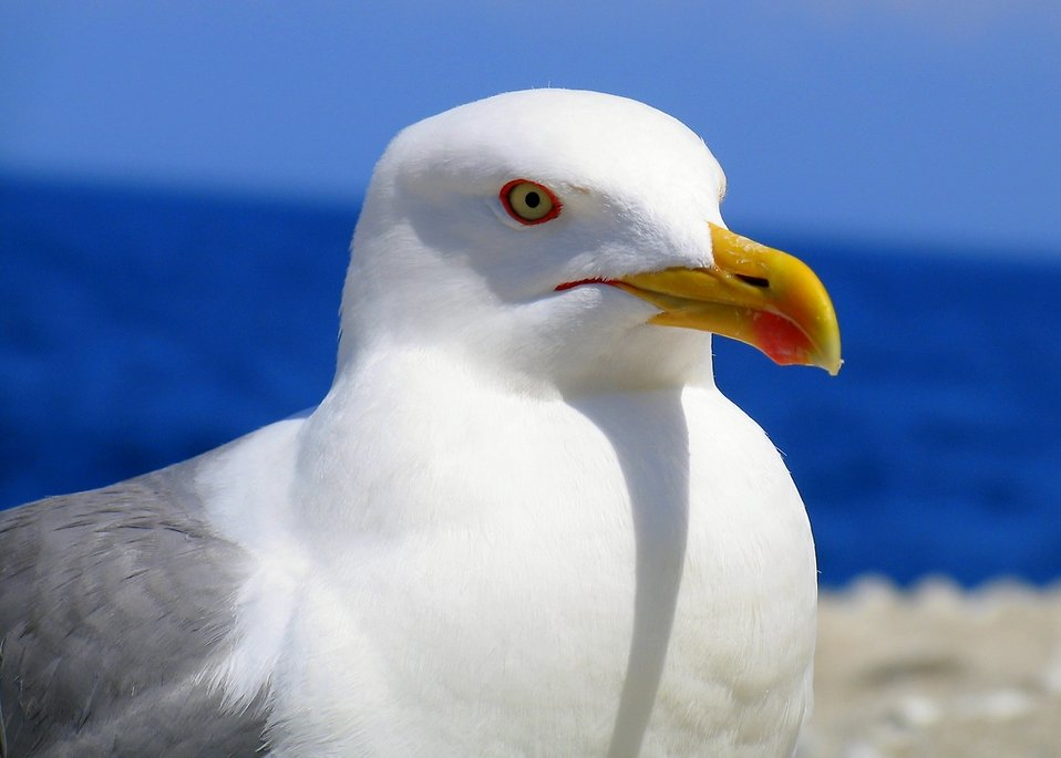 Close-up of a sea gull : Free Stock Photo