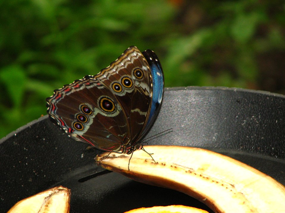 A butterfly on a split banana : Free Stock Photo