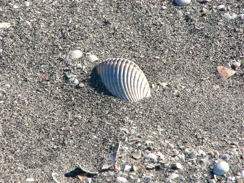 A sea shell in the sand : Free Stock Photo