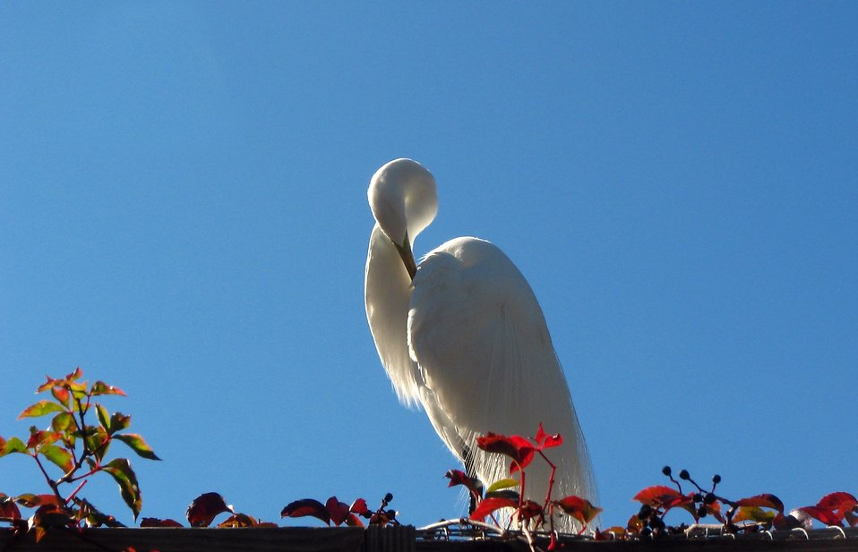 Close-up of a white heron : Free Stock Photo