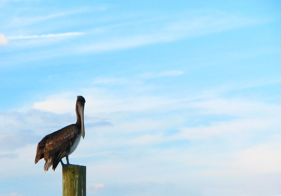 A pelican perched on a wooden post : Free Stock Photo