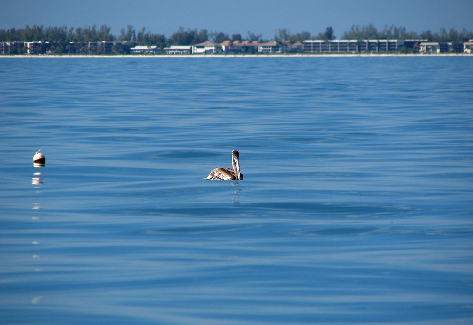 A pelican floating in the ocean : Free Stock Photo