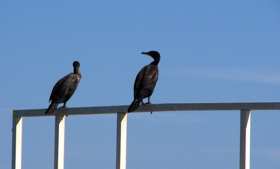 Sea birds perched on a railing : Free Stock Photo