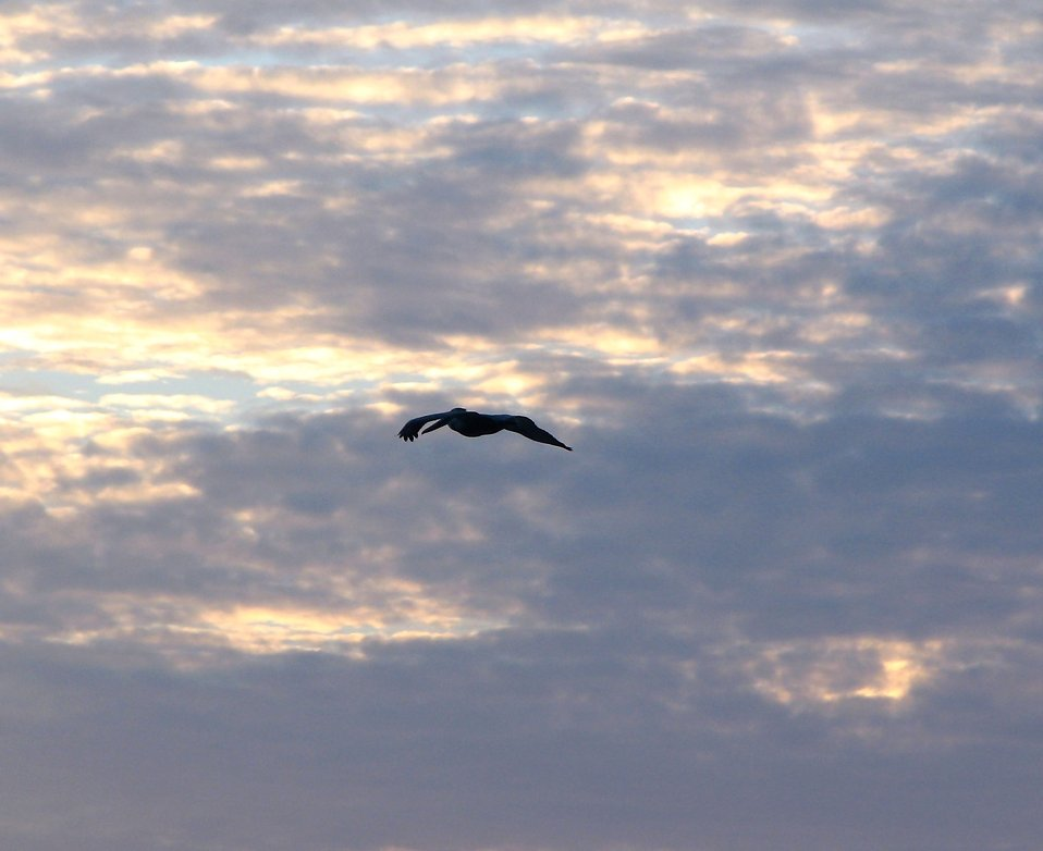 A pelican flying in front of a sunset : Free Stock Photo