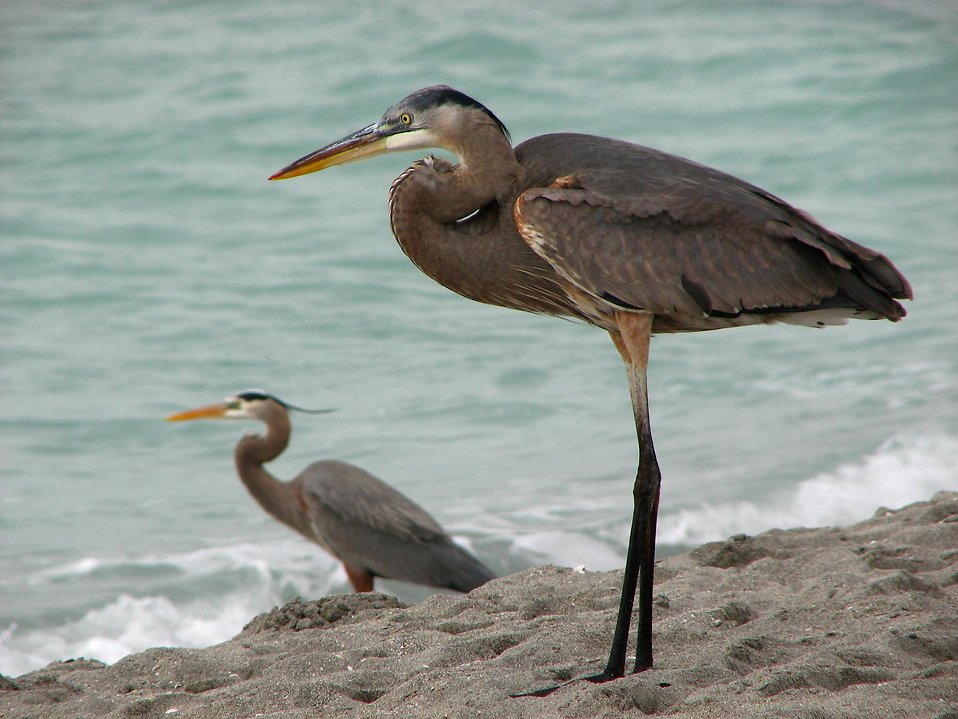 Close-up of herons on the beach by the ocean : Free Stock Photo