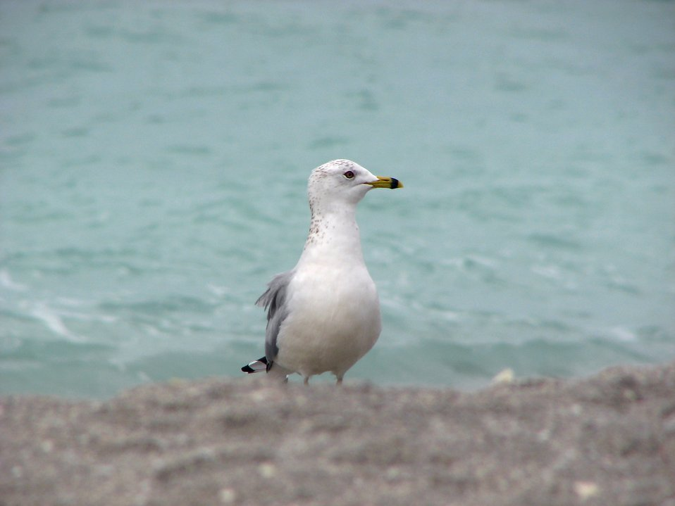 Close-up of a sea gull on the beach by the ocean : Free Stock Photo