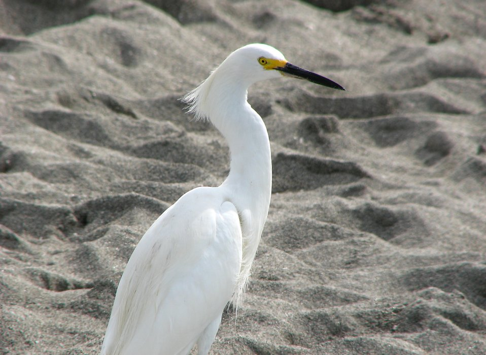 A white heron standing in the sand : Free Stock Photo