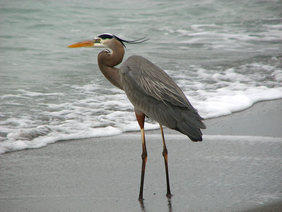 Close-up of a heron on the beach by the ocean : Free Stock Photo