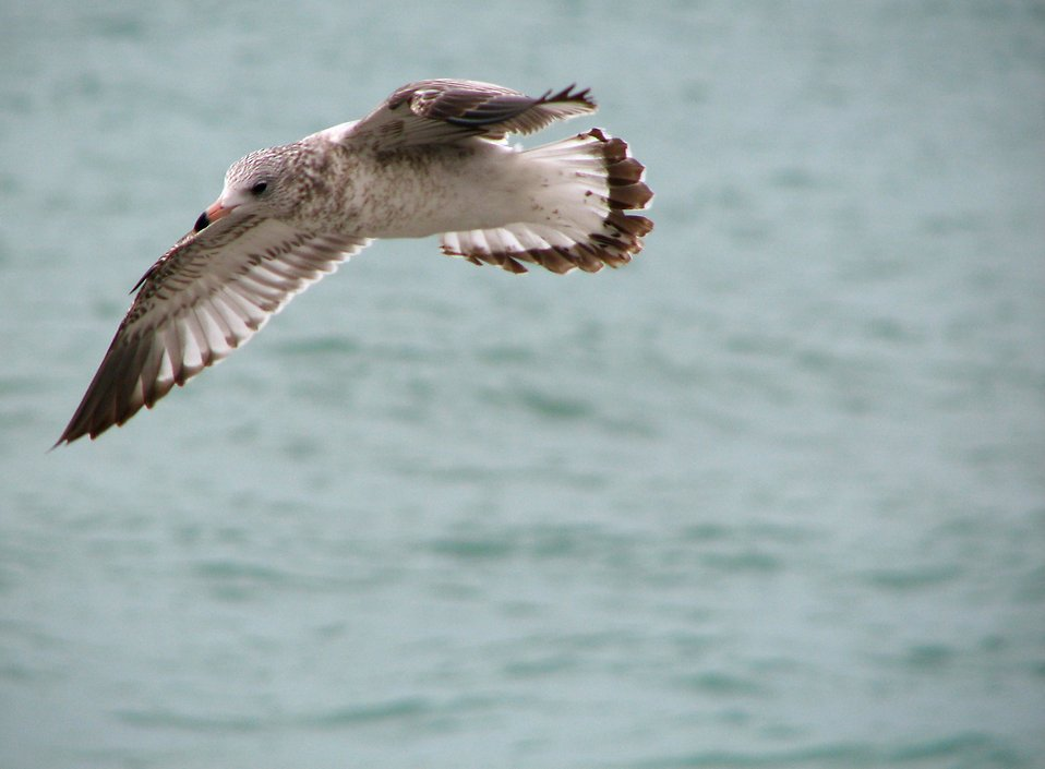 Close-up of a sea gull flying over the ocean : Free Stock Photo