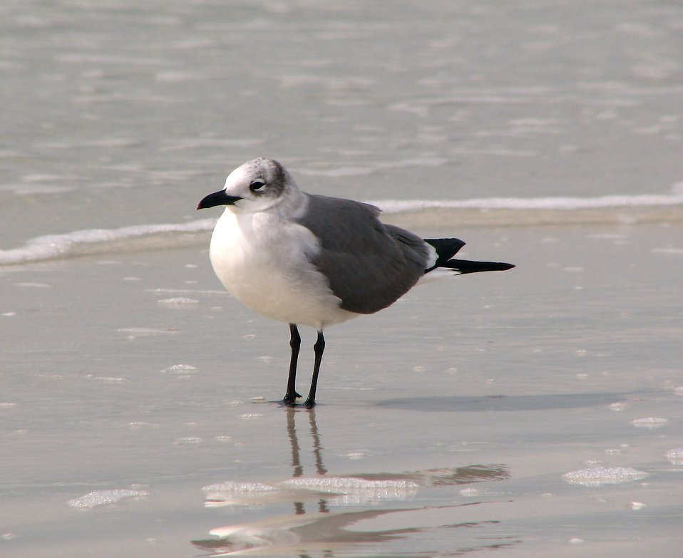 Close-up of a seagull standing in water on the beach : Free Stock Photo