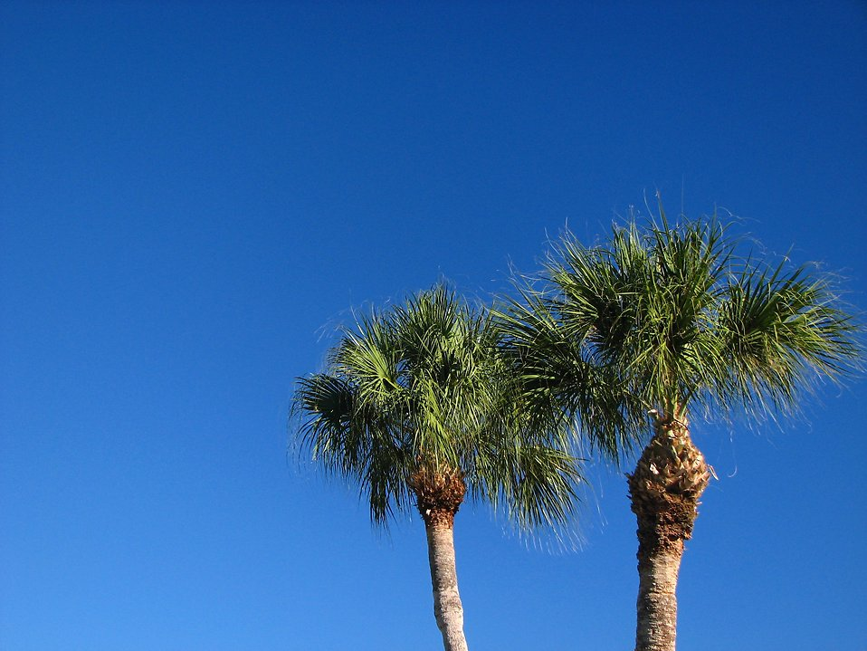 Palm trees with a blue sky background : Free Stock Photo