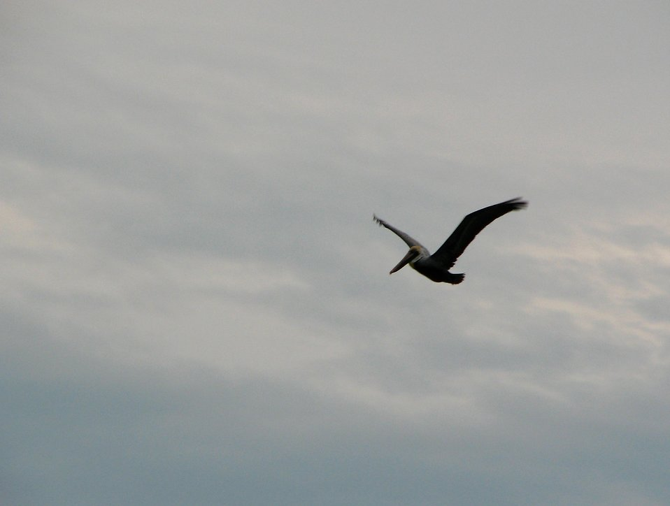 A pelican flying in a cloudy sky : Free Stock Photo