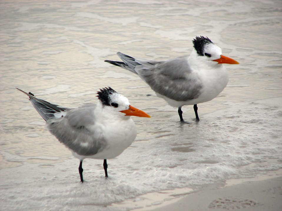 A pair of royal terns in water on the beach : Free Stock Photo