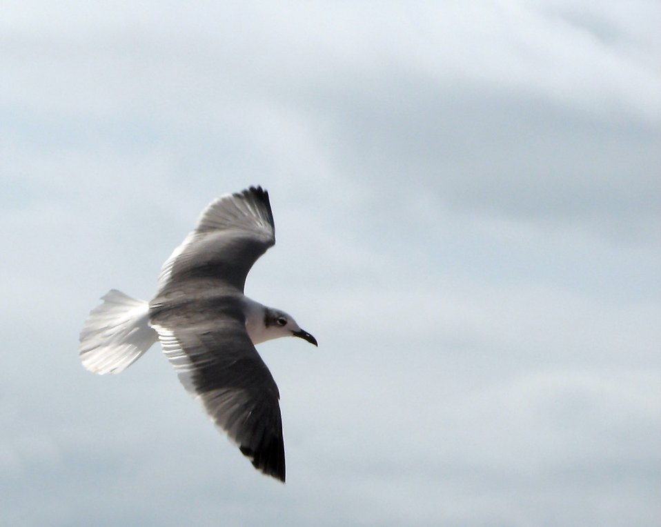 Close-up of a seagull flying : Free Stock Photo
