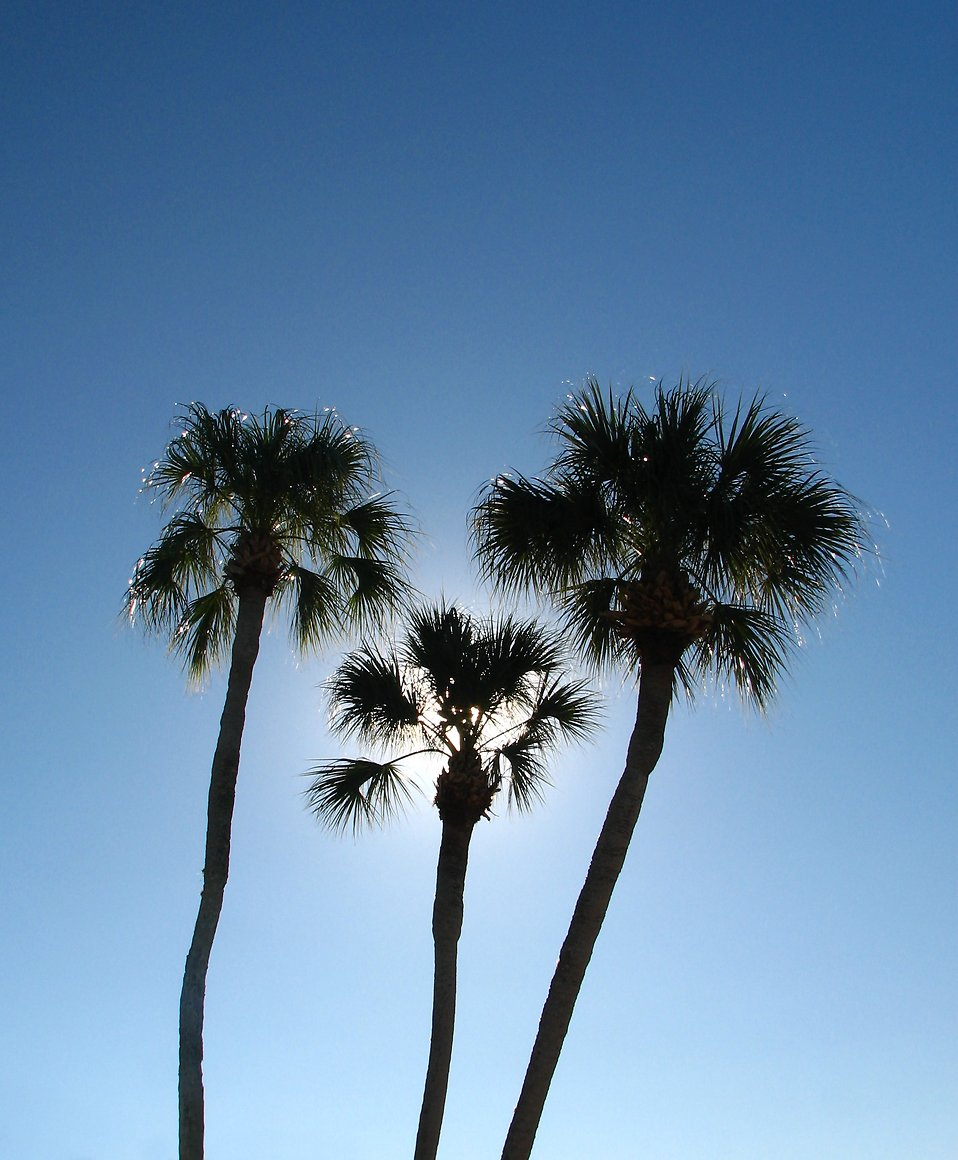 Palm tree silhouettes with a blue sky background : Free Stock Photo