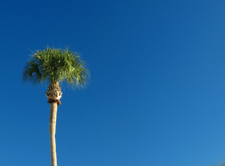 A palm tree with a blue sky background : Free Stock Photo