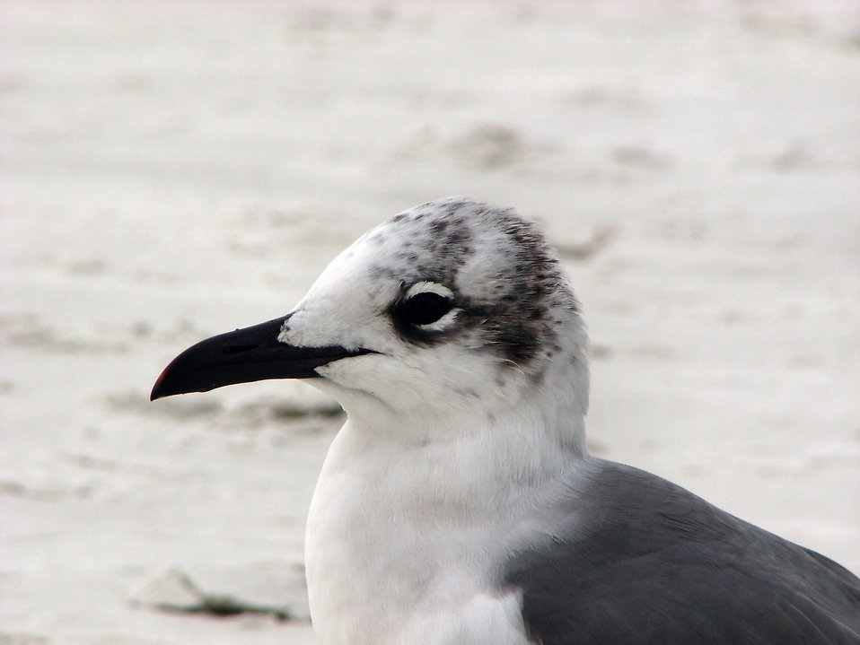 Close-up of a seagull on the beach : Free Stock Photo