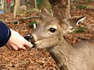 Free Stock Photo: A person hand feeding a deer in the woods