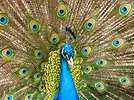 Free Stock Photo: Close-up of a colorful peacock