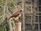 Free Stock Photo: Close-up of a red-tailed hawk perched on a stump