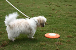 Free Stock Photo: A small dog on a leash standing by a frisbee