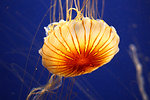Free Stock Photo: A jellyfish under water
