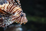 Free Stock Photo: A lionfish swimming under water