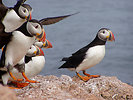 Free Stock Photo: Atlantic Puffins standing on rocks
