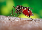 Free Stock Photo: Close-up of a mosquito feeding on blood