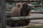 Free Stock Photo: Bactrian camel