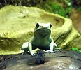 Free Stock Photo: Closeup of a green posionous frog