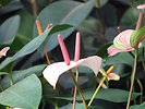 Free Stock Photo: Closeup of pink Peace Lily flowers