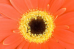 Free Stock Photo: Close-up of a red gerbera flower